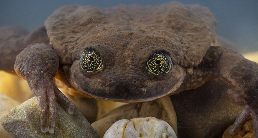 A Bolivian Frog Species Returns From The Dead Science News For Students