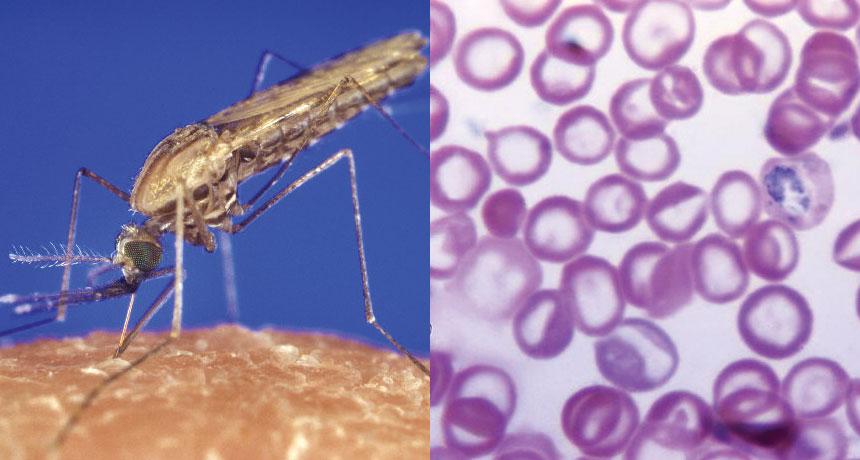 malária plazmodium parazita