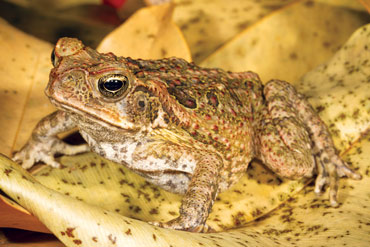 060618_lr_quoll_toad_inline_370.jpg