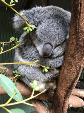 062918_TS_koala-genome_inline_370.jpg