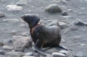 Plastic debris gave this northern fur seal a serious neck wound on Bogoslof Island off the coast of Alaska. Credit: Michael Williams, MMPA Permit #782-1708