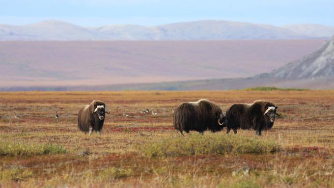 Alaska musk oxen