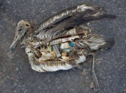 On Midway Atoll in the Northwestern Hawaiian Islands, dead albatross chicks are often found with stomachs full of plastic junk. Credit: Chris Jordan