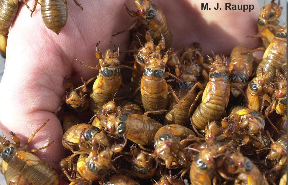 a handful of cicada nymphs