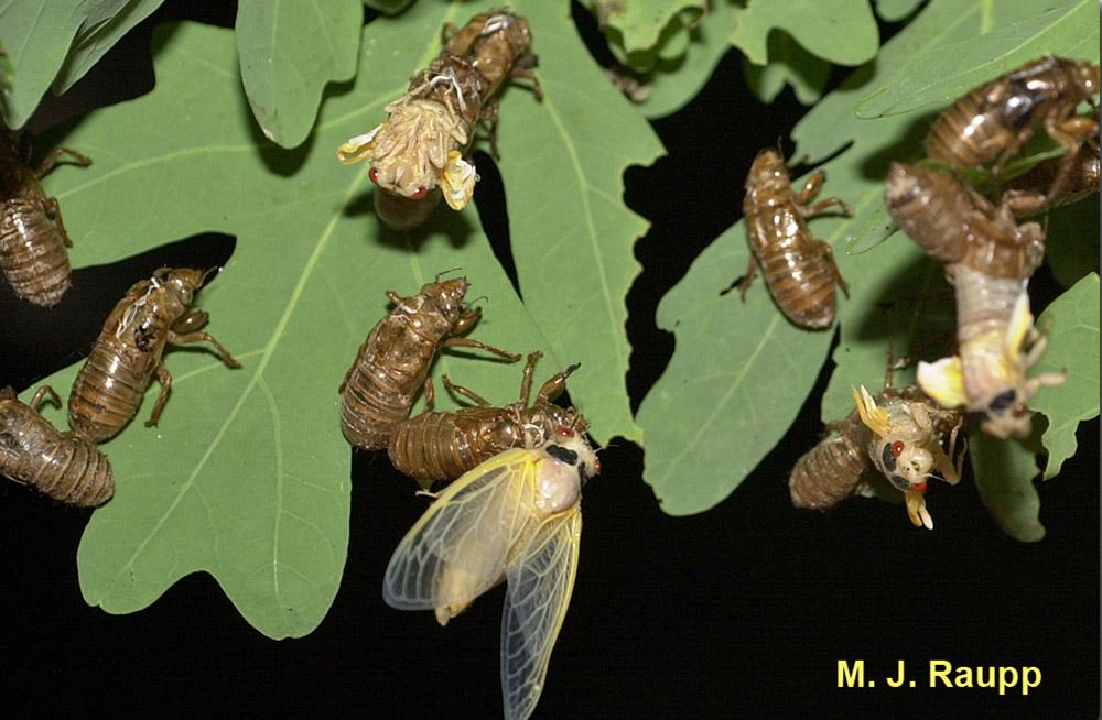 cicadas molting