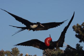 350-frigate-bird-flirting.jpg