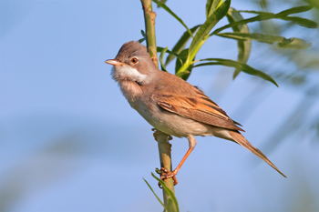 350-inline-1-Common_Whitethroat.png