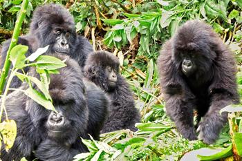 350-inline-1-gorillas.png