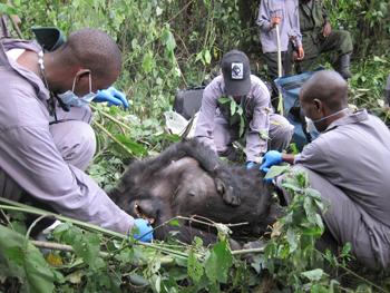 350-inline-2-gorilla-doctors.png