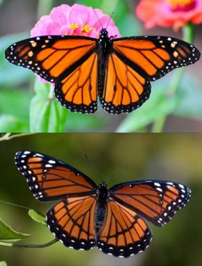 butterfly mimics
