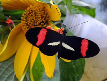 banded butterfly