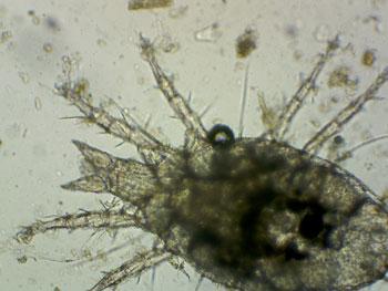 microarthropod