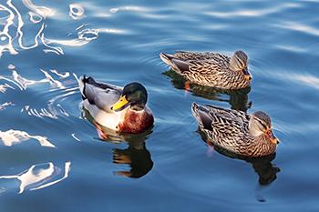 350 inline ducks.jpg