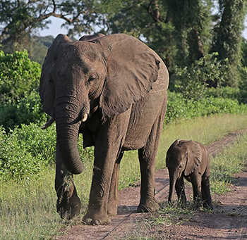 350_(Loxodonta_africana)_female_elephant_with_six-week-old_baby.png