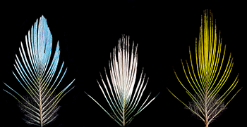 350_Barrera_Feathers.png