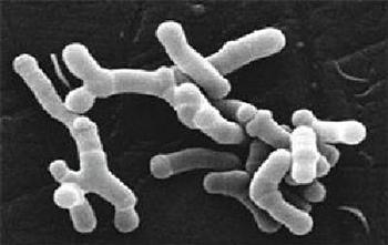 350_Bifidobacterium_longum.png