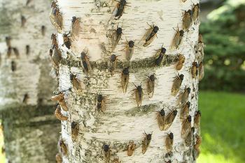 350_Cicada_2007_brood.png
