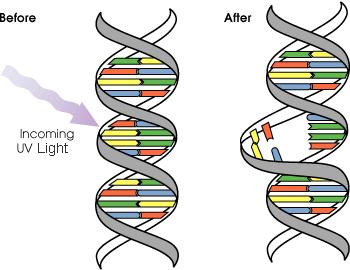350_DNA_UV_mutation.png