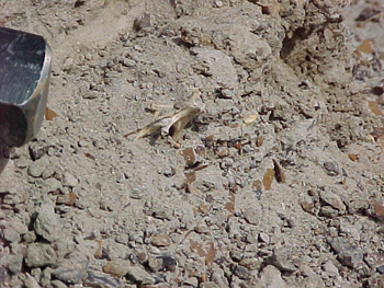 350_Fossil_Vertebra-_Hell_Creek.png