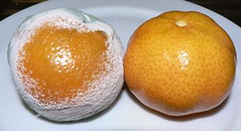 350_Penicillium_mandarijntjes.png