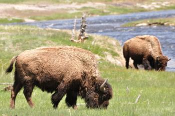 350_bison.png