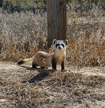 350_black_footed_ferret.png
