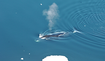 350_bowhead-whale.png