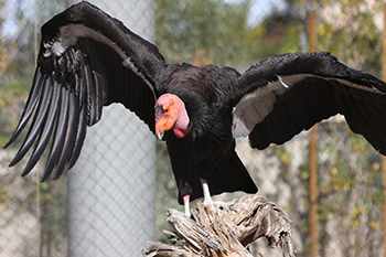 350_california_condor.png