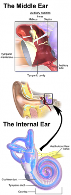 350_combined_inner_outer_ear.png