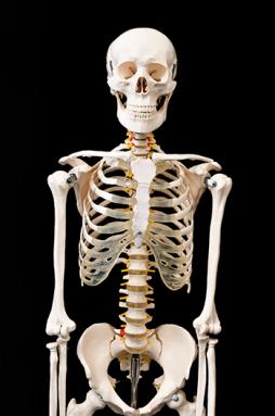 350_human_skeleton.png