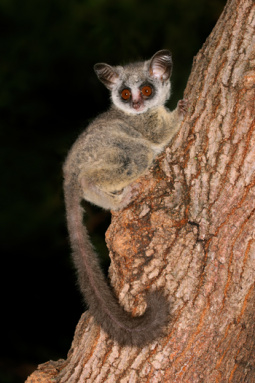 350_inline1_bushbaby.png
