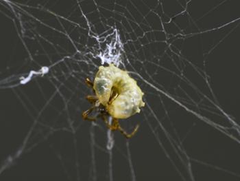 350_inline1_zombie_spider.png