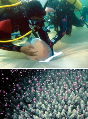 350_inline3_coral_larvae.png