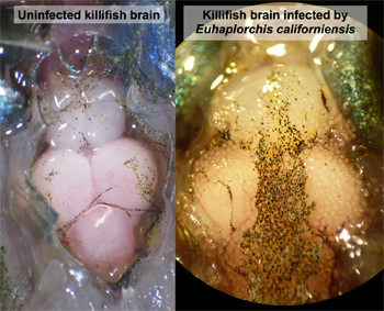 350_inline5_killifish_brain.png