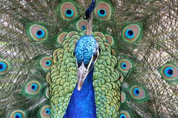 350_inline5_peacock.png