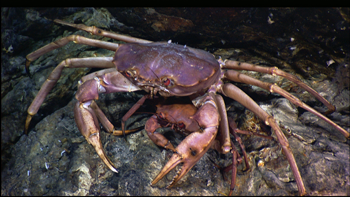 350_inline8_deep_sea_crab.png