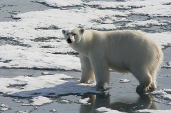350_inline_5_polarbear.png