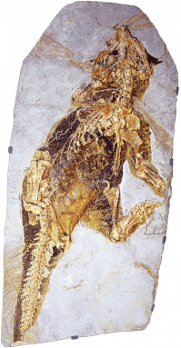 350_inline_Psittacosaurus_fossil.png