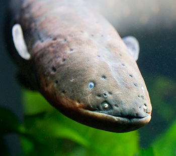 350_inline_electric_eel.png