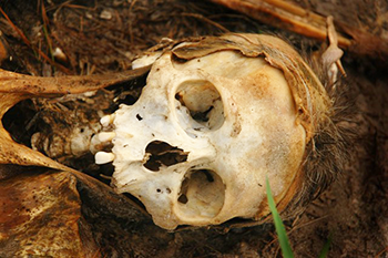 350_inline_human_skull.png