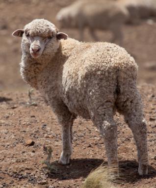 350_inline_lone_sheep_drought.jpg