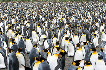 350_penguins_en_masse.png