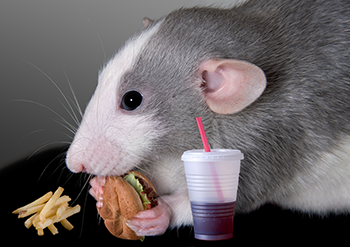 350_rat_having_snack.png
