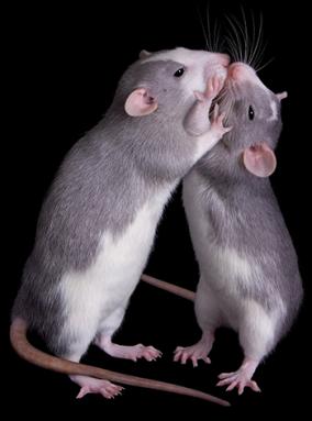 350_rats_wrestling.png