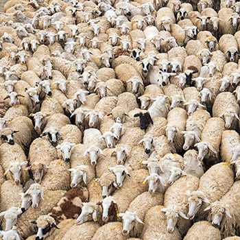 350_sheep_en_masse.png