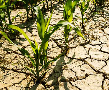 370_CCC10_dry_cornfield.png