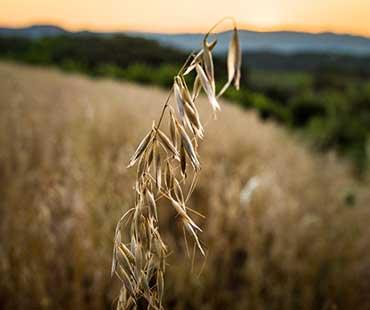 370_CCC10_wheat.jpg
