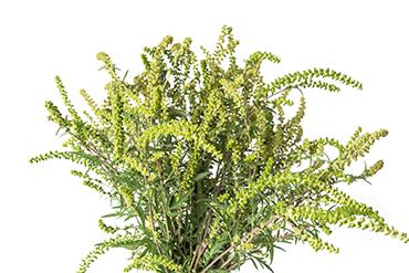 370_CCC9_ragweed_ambrosia_artemisiifolia.png