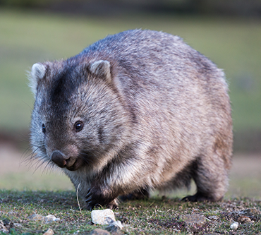 370_CJ_poop_common_wombat.png