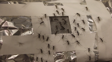 370_LEM-mosquitoes-graphene_SS.png